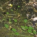 Hydrocotyle verticillata (Marsh pennywort)