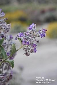 Hyptis emoryi (Desert lavender)