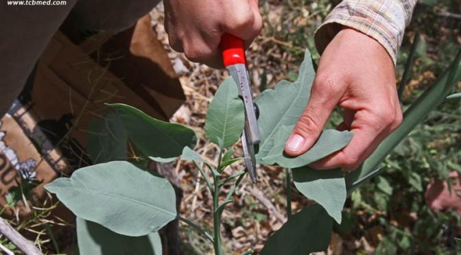 Nicotiana glauca | Tree tobacco | Medicinal Uses | Charles W  Kane