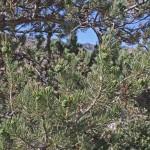 Pinus cembroides (Mexican pinyon pine)