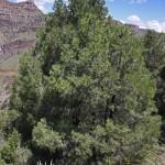 Pinus monophylla (Singleleaf pinyon)