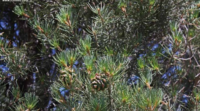 Pinus monophylla | Singleleaf pinyon | Edible and Medicinal Uses