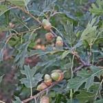 Quercus kelloggii (California black oak)