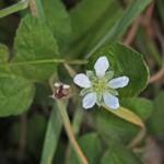 Rubus ursinus (California blackberry)