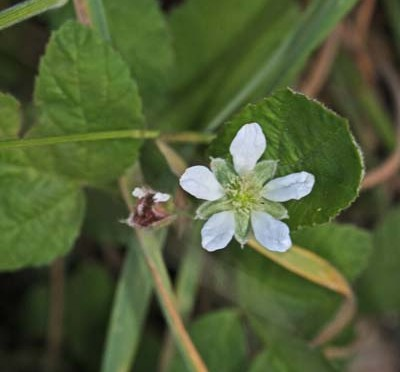 Rubus ursinus | California blackberry | Edible and Medicinal Uses