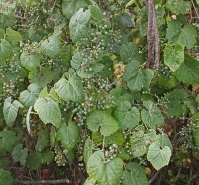 Vitis girdiana (Wild grape)