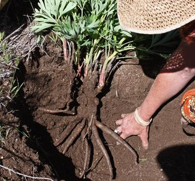 Paeonia californica (California peony)
