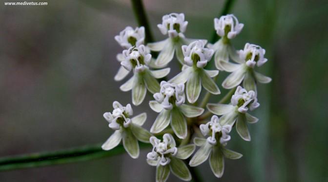 Asclepias subverticillata | Horsetail milkweed | Charles W ...