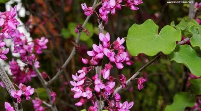 Cercis canadensis var. mexicana (Mexican Redbud)