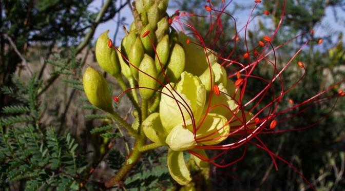 Caesalpinia gilliesii (Yellow bird of paradise)