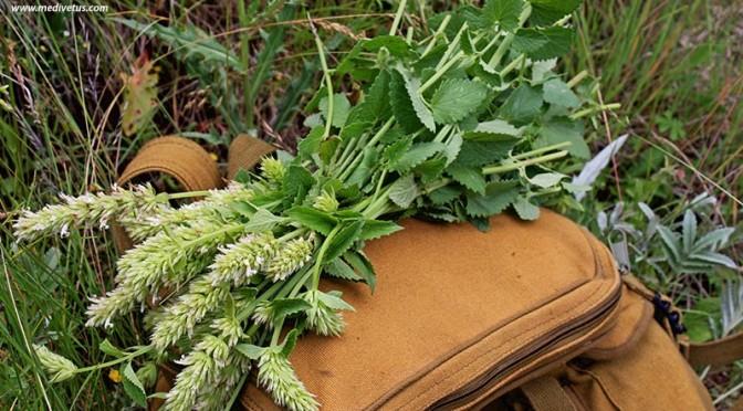 Agastache pallidiflora ssp. pallidiflora (Mountain giant hyssop)