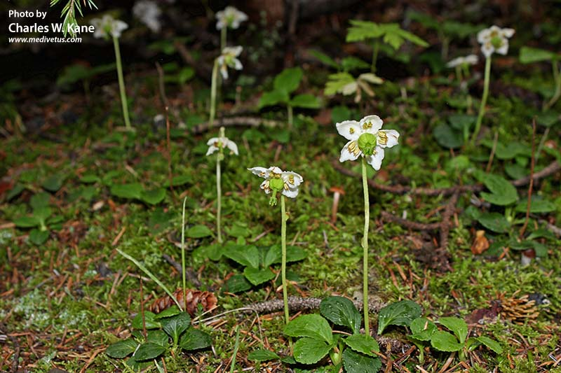 http://medivetus.com/botanic/wp-content/uploads/2015/09/moneses-uniflora-1.jpg