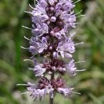 Mentha longifolia (Longleaf mint)