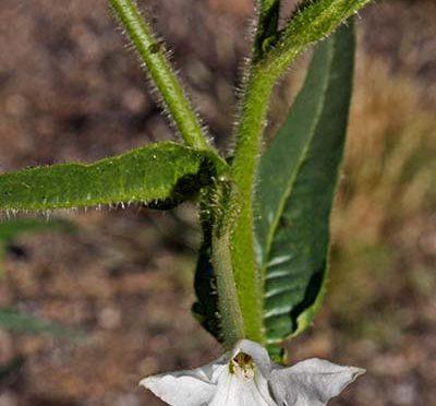 Nicotiana quadrivalvis | Indian tobacco | Medicinal Uses | Charles W