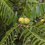 Juglans californica (California walnut)