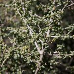 Lycium californicum (California wolfberry)