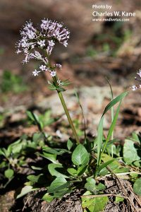 Valeriana arizonica (Arizona valerian)