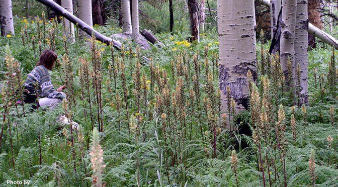 Pedicularis procera (Giant lousewort)