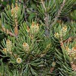 Pinus edulis (Two-needle pinyon pine)