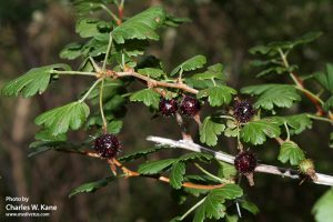 Ribes pinetorum (Orange gooseberry)