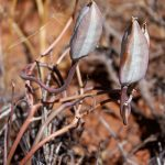 Calochortus flexuosus (Winding mariposa lily)