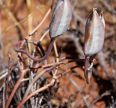 Calochortus flexuosus | Winding mariposa lily | Edible Uses