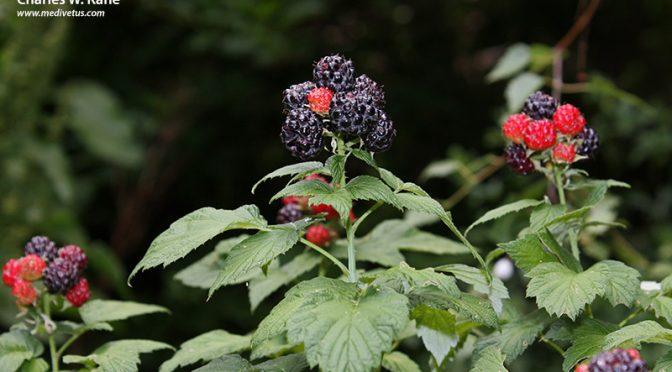 Rubus leucodermis (Whitebark raspberry)