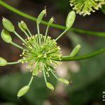 Lomatium dissectum var. multifidum (Carrotleaf lomatium)