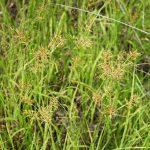 Cyperus esculentus var. leptostachyus (Yellow nutsedge)
